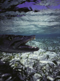 Barracuda in Water Photographic Print by Timothy O'Keefe
