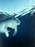Manatee Underwater Photographic Print by Timothy O'Keefe