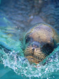 Sea Lion, Netherlands Antilles Photographic Print by Robin Hill