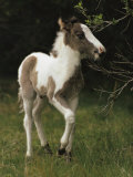 Portrait of a Wild Pony Foal Photographic Print by James L. Stanfield