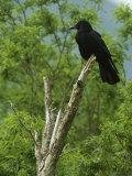 A Crow Perched on an Old Dead Tree Snag Fotografisk tryk af Klaus Nigge
