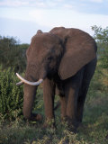 African Elephant, Tanzania Photographic Print by D. Robert Franz