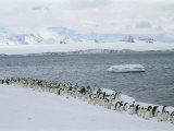 A Group of Adelie Penguins Marching Along a Shoreline Photographic Print by Gordon Wiltsie