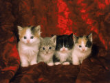 Kittens Photographic Print by Craig Witkowski