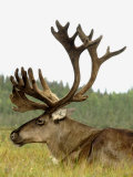Bull Caribou, Alaska Photographic Print by Jim Oltersdorf