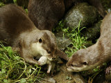 Adult Asian Short-Clawed River Otter Shows Newborn to Sibling Photographic Print by Nicole Duplaix