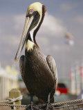 Pelican Visiting City Marina Photographie par Richard Nowitz