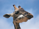 Masai Giraffe Chewing Photographic Print by Michele Burgess
