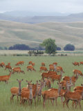 Deer Farming, Canterbury Plains, New Zealand Photographic Print by Bruce Clarke