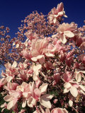 Crab Apple Tree in Bloom, Jamaica Plains, MA Photographic Print by Kindra Clineff