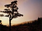 Alpine Hemlock, Baranof Island, AK Photographic Print by Ernest Manewal