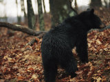 An American Black Bear Foraging for Acorns in the Forest, at Jeremys Run Photographic Print by Raymond Gehman