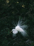 Great Egret Displays its Plumage Fotografisk tryk af Klaus Nigge
