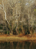 Bare Sycamore Trees Along the Cape Fear River Photographic Print by Raymond Gehman