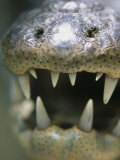 Close View of the Open Mouth of a Morelets Crocodile Photographic Print by Stephen Alvarez
