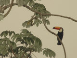 Toco Toucan Fledgling at the Fazenda Barranco Alto Photographic Print by Nicole Duplaix