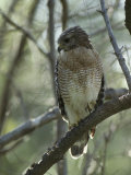 Red-Shouldered Hawk Perches in a Tree on Floridas Gulf Coast Photographic Print by Klaus Nigge