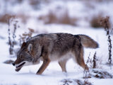 Coyote, Canis Latrans, MN Photographic Print by D. Robert Franz