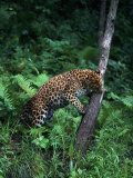 Amur Leopard in Forest, Panthera Pardus Orientalis Photographic Print by D. Robert Franz