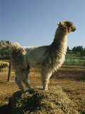 Portrait of a Llama Photographic Print by Richard Nowitz
