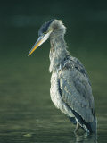 A Portrait of a Great Blue Heron Photographic Print by Klaus Nigge