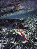 Barracuda, Tube Lure Fotografisk tryk af Timothy O'Keefe