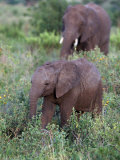 African Elephants, Luxodonta Africana, Tanzania Photographic Print by D. Robert Franz