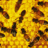 A Close-up View of Bees in a Hive Photographic Print by Maria Stenzel