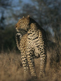 Full Grown Leopard Photographic Print by Kim Wolhuter