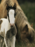 Wild Pony Foal Standing near its Grazing Mother Photographic Print by James L. Stanfield