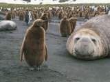 A Group of King Penguins and Their Chicks with Resting Elephant Seals Photographic Print by Gordon Wiltsie