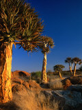 Quiver Trees, Namaqualand, South Africa Photographic Print by Carol Polich