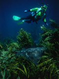 Diver Swimming Over a Spotted Eagle Ray (Aetobatus Narinari) in Orangatea Bay, New Zealand Photographic Print by Jenny & Tony Enderby