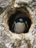 Tree Swallow Peers Out of its Nest, a Hole Once Used by a Flicker Photographic Print by Michael S. Quinton