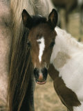 Wild Pony Foal Nuzzled up to its Mothers Tail Photographic Print by James L. Stanfield