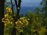 Sunlight Shines on Golden Aspen Tree Leaves Fotografisk tryk af Raul Touzon
