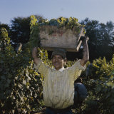 Grape Harvest, Santiago, Chile Photographic Print