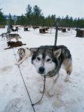 Dog Sled Tours, Karasjok Finn, Norway Photographic Print by Dan Gair