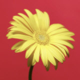 Yellow Flower on Red Background Photographic Print by Jim McGuire