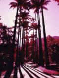Imperial Palm Trees, Botanical Garden, Rio de Janeiro, Brazil Photographic Print