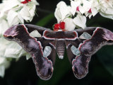 Atlas Moth, Attacus Atlas, Indonesia Photographic Print by D. Robert Franz