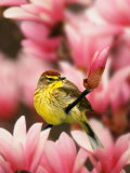 Male Palm Warbler in Magnolia Tree Photographie par Adam Jones