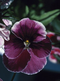 Blooming Purple Pansy in Garden Photographic Print
