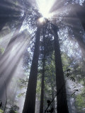 God Beams in Fog, Giant Redwoods, Del Norte Coast State Park, California, USA Photographic Print by Jamie & Judy Wild