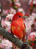 Male Summer Tanager Reproduction photographique par Adam Jones