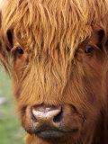 Scottish Cow, Queenstown, South island, New Zealand Stampa fotografica di David Wall
