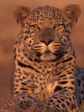 Leopard Relaxing at Animal Rehabilitation Farm, Namibia Photographie par Theo Allofs