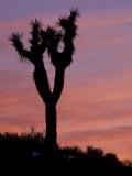 Sunset at Lee Flat with Joshua Tree, Death Valley National Park, California, USA Photographic Print by Jamie & Judy Wild