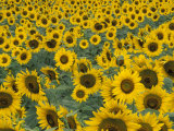 Field of Sunflowers, Fayette County, Kentucky, USA Stampa fotografica di Adam Jones