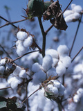 Cotton Tree - Israel Photographic Print